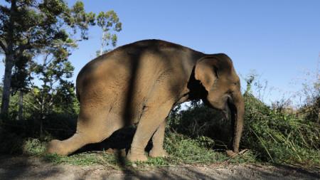 Суматранският слон е силно застрашен от изчезване