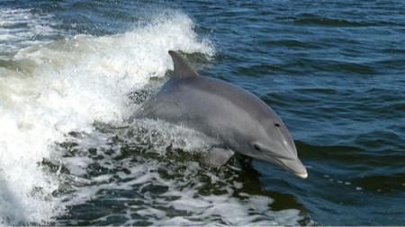 Црноморски делфин