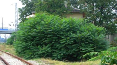 Айлант (Ailanthus altissima)