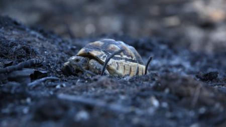 Костенурка си проправят път през изгоряла гора край Варибоби - североизточно предградие на Атина, 8 август 2021.