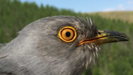 Мъжката кукувица Онон, кръстена на монголска река, е прелетяла над 16 държави.
