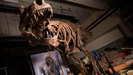 Реконструираният скелет на тиранозавъра Скоти