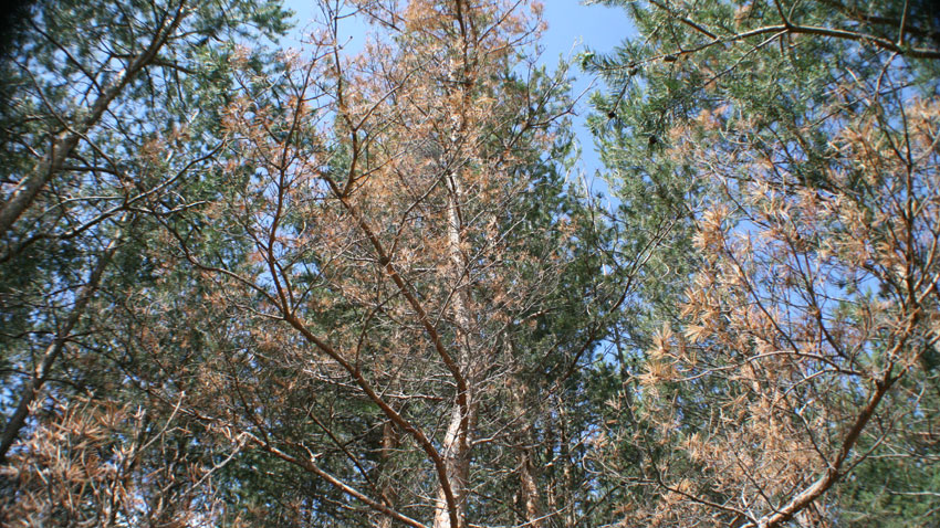 Съхнене в иглолистна гора, причинено от корояд.
