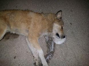 Едно от отровените кучета в Исперих