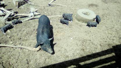 Виетнамските мини прасенца на една седмица