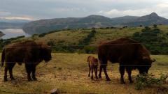 Завръщането на зубъра в Източните Родопи е сред големите успехи на еколозите