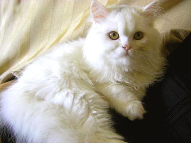 3a6f39134e75 ... γάτας και εκτός Βουλγαρίας μέσω του Ιντερνετ. Πριν όμως γινόταν μέσω  φίλων και γνωστών. Μια και πριν χρόνια ακόμα η Περσική γάτα ήταν εξωτικό  είδος για ...