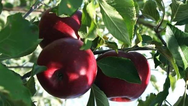 Petrovden apples