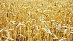 жито пшеница ниви жътва