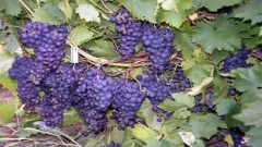 грозде лозе