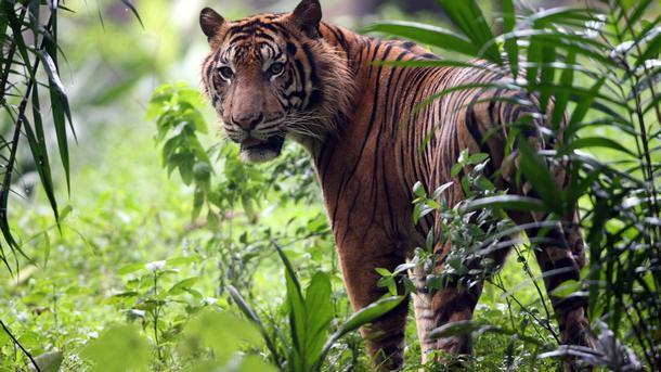 Тигрицата Юнона от зоологическата градина Life Shot е предсказала победа