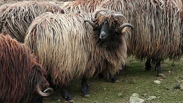Karakaçan koyunu