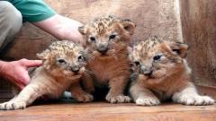 В разградския зоопарк на бял свят се появиха три новородени лъвчета - поколение на лъвицата Рая и лъва Любо