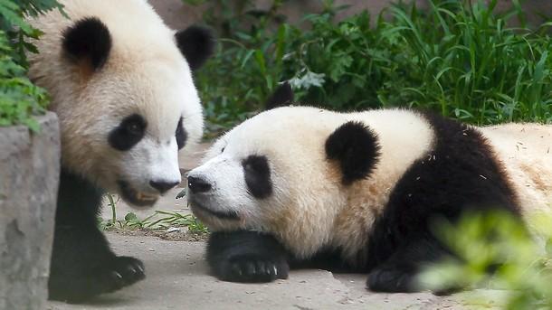 панда панди