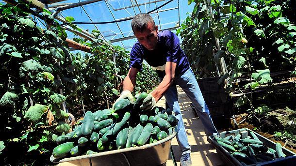 62% от площите, за които производителите на краставици са поискали