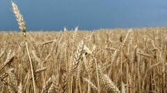 450 кг ечемик от декар и 458 кг пшеница от декар очакват в Ямболска област.