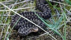 В космогонията на българина змията е символ на земята.