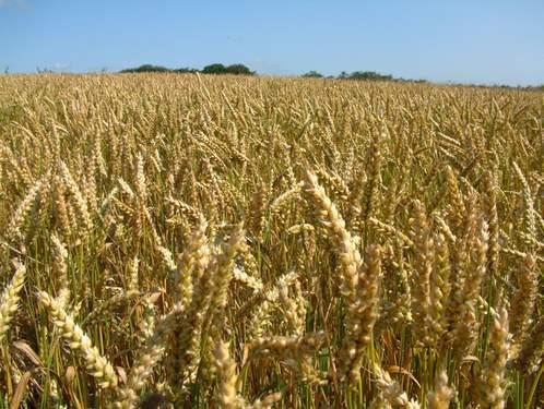 Близо три хиляди декара с пшеница са пострадали от обилните