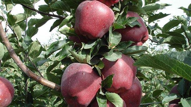 Добиви от над 5 тона ябълки от декар очакват земеделски